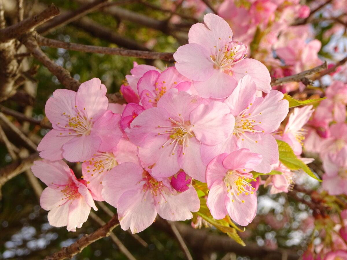 桜フラッシュ・アップ